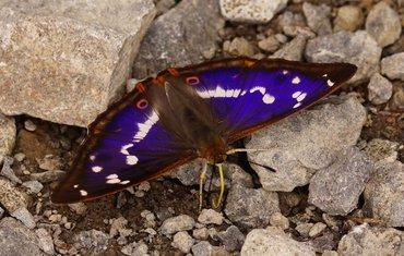 De grote weerschijnvlinder heeft zijn naam te danken aan de blauwe weerschijn op zijn vleugels