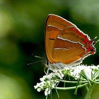 Landelijk Meetnet  Vlinders