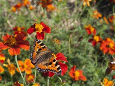 Planten Voor Bijen.De Vlinderstichting Bloemen Voor Vlinders En Bijen