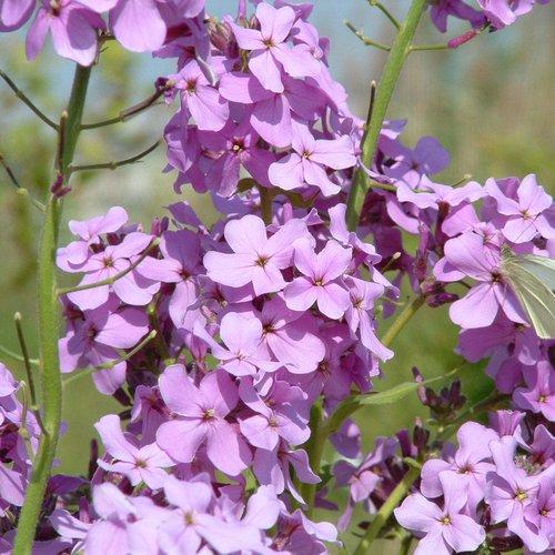 Genoeg De Vlinderstichting | Planten voor vlinders &YM14