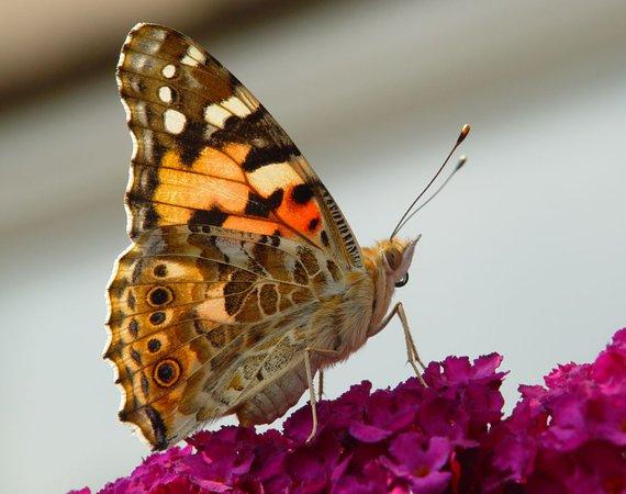 De vlinderstichting tips voor een vlindervriendelijke tuin for Decoratie vlinders voor in de tuin