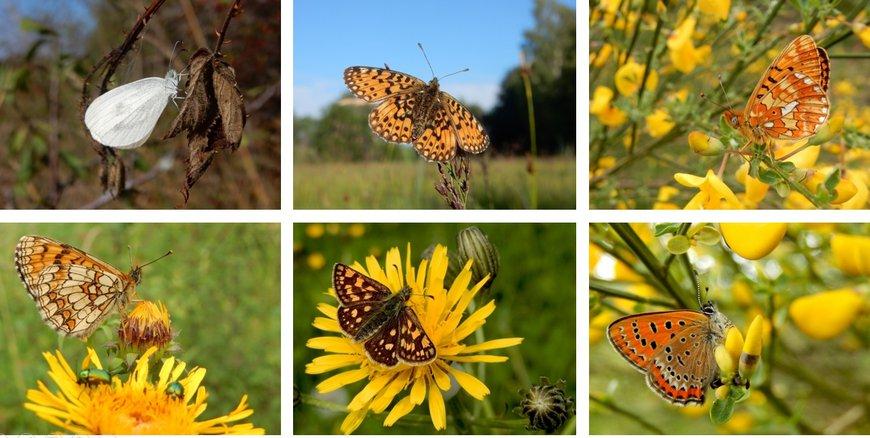 Vlinders Eifel en Ardennen